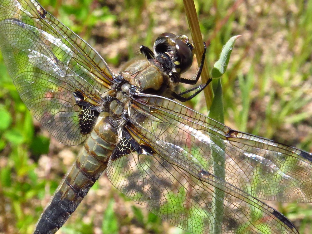 The four spotted skimmer is a medium sized dragonfly with a length up to 4.5 cm. The wings are clear except for a clouding along the leading edge.
