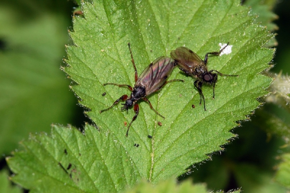 The larvae of the March Fly lives in the soil and feed on decaying organic matter and plant roots. The adults are important plant pollinators.