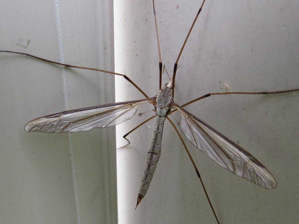 Crane flies, Vancouver Island, BC