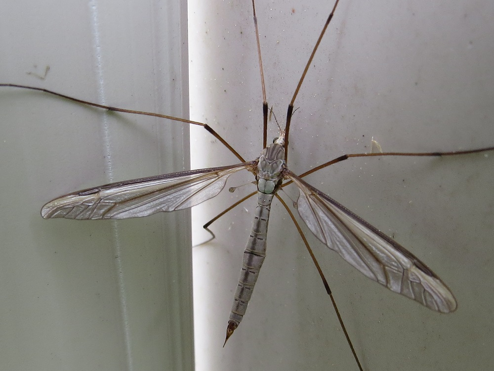 The Crane fly are mostly found in damp situations where there is abundant vegetation, although some are found in dry grassland habitats and even deserts, there are many crane flies on the BC coast, sometimes, in the fall, we could have up to 50 at one time in our house.