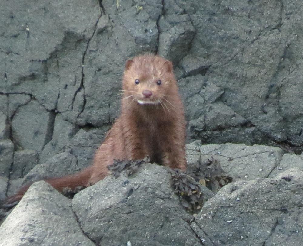 Mink, Pacific Northwest