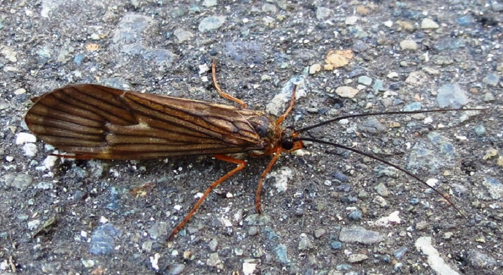 The October Caddisfly is widely distributed in freshwater habitats throughout the world. The October caddisfly is quite abundant on Vancouver Island.