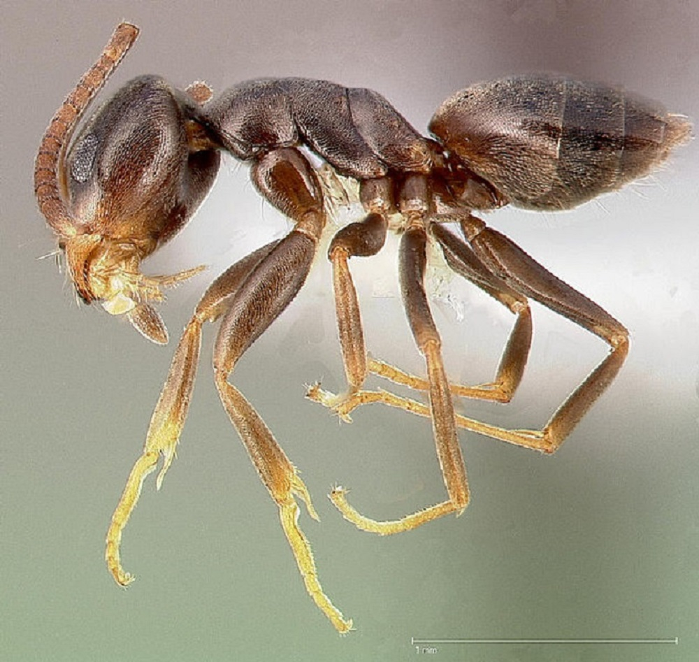 The odorous ants emit an acrid, rotting coconut smell when crushed, this is what gives this ant its name. This ant is up to 1/4 cm long with a reddish brown to black colored body. If the odorous ant perceives a threat, it may move in quick motions while raising its abdomen in the air.