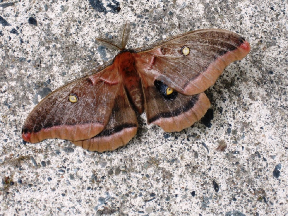 Eyed Owl Moth is fairly common on the BC coast. The eyed owl moth is one of our biggest moths, having up to a 14 cm wingspan.