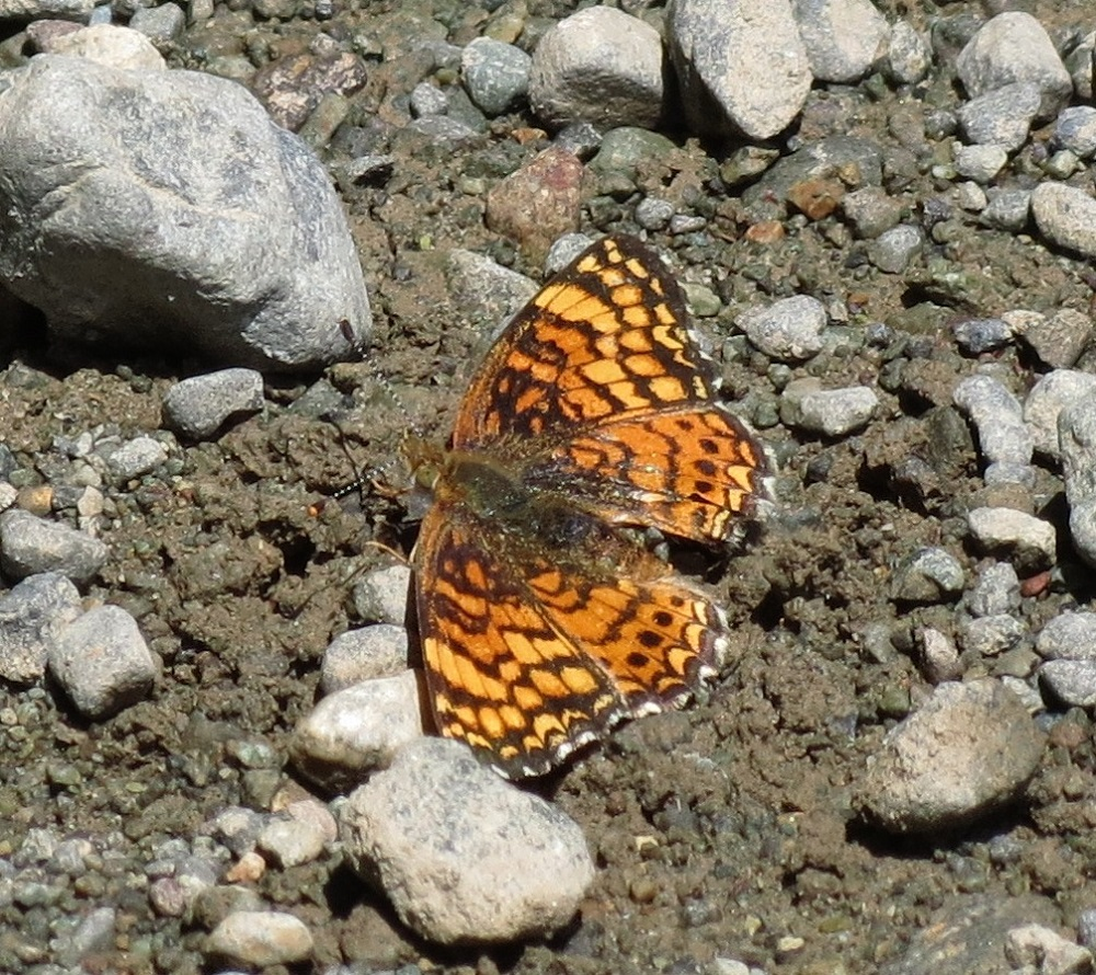 The wings upper side is typical of the of the Fritillary Butterflies. There are rows of black spots on a rusty orange background. The hind wing underside lacks prominent pale markings.
