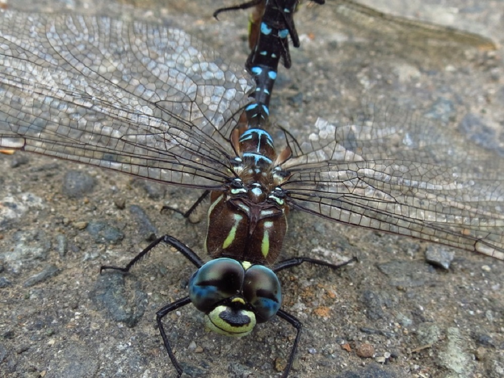 The Dragonflies are a large predatory insect that is generally found around lakes and streams, they are quite common on the coast of BC. They are best known for their beautiful colors and the way their body and wings sparkle when they are hovering over water.
