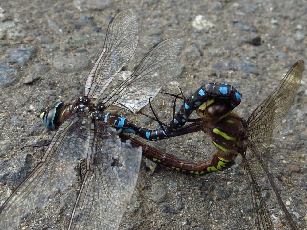 Paddletail Darner Dragonfly
