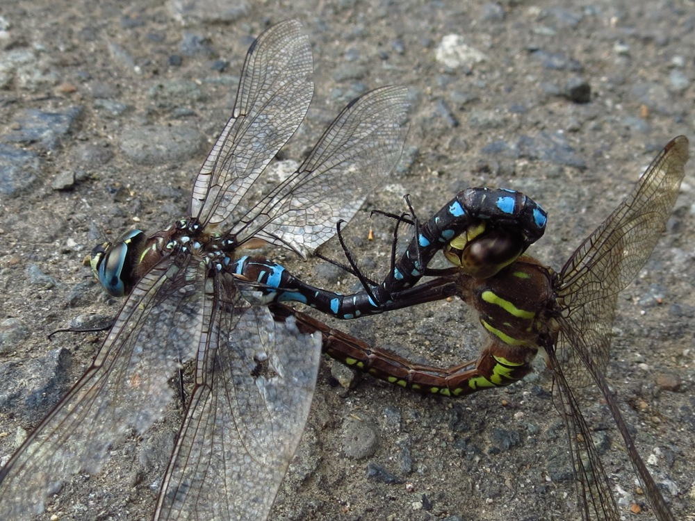 The Paddletail Darner Dragonfly is a big dragonfly with a length up to 7.5 cm. The base color of the male is brown to brownish black. The top of the thorax is marked with several yellowish green dashes, while each side of the thorax is marked with a pair of fairly thick, yellowish green diagonal stripes.