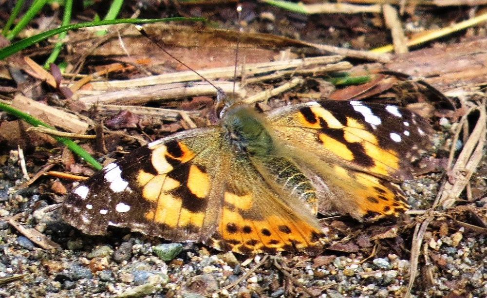 Painted lady butterflies are medium sized, with a wingspan of about 5 cm. The top sides of their wings are orange with black blotches and white spots. Underneath, wing color is a beautiful combination of brown, pink, dark green, black and white.