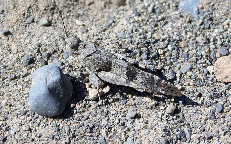 Pallid Winged Grasshopper