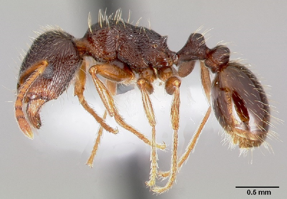 Pavement ants will feed on a wide variety of foods, including live and dead insects, meat, grease, seeds and honeydew from aphids. They prefer to eat greasy foods, and can eat most foods consumed by humans