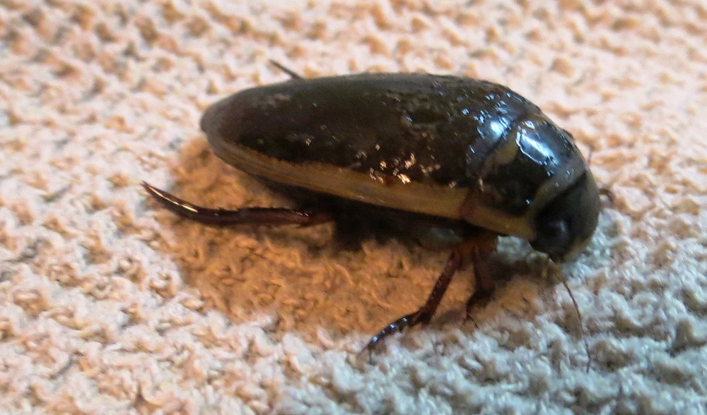 Predaceous Diving Beetle are usually black or dark brown, sometimes with green, bronze or brown stripes or spots. The body is oval in shape and very hard, and the hind legs are flattened and fringed for swimming.