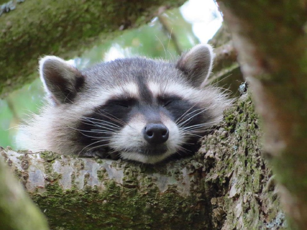 Raccoon, Vancouver Island, BC