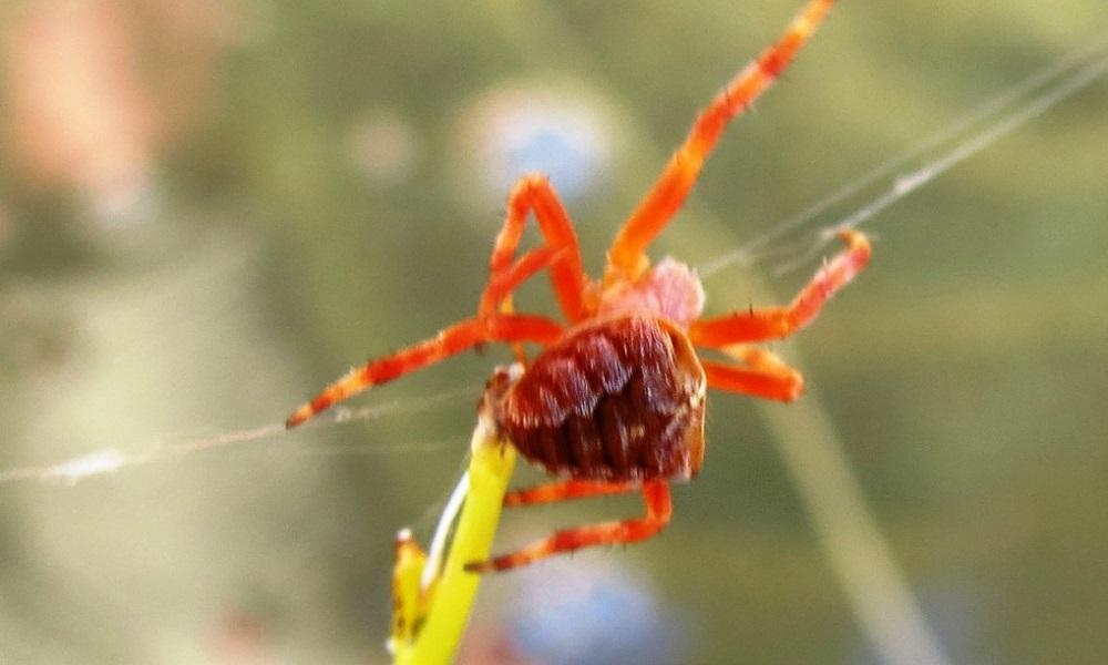 Red Orb Weaver