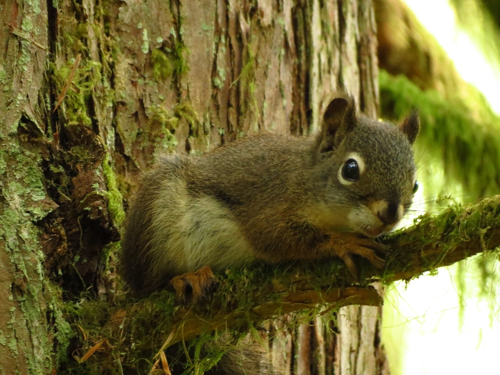 Red Squirrel, Vancouver Island, BC