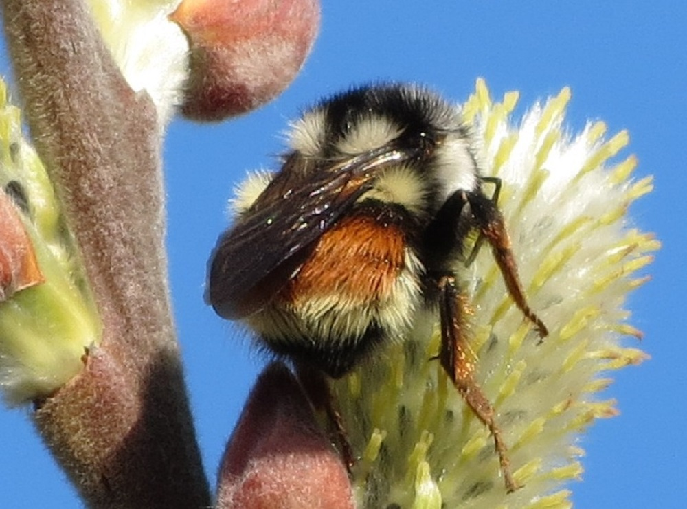 There are many types of bees, some live in large hives and others are more inclined to live solitary lives, some nest as individuals in a common nesting site like the digger bees. There are also many types of bumble bees, before the import of honey bees from Europe, the bumble bees were the best pollinators here.