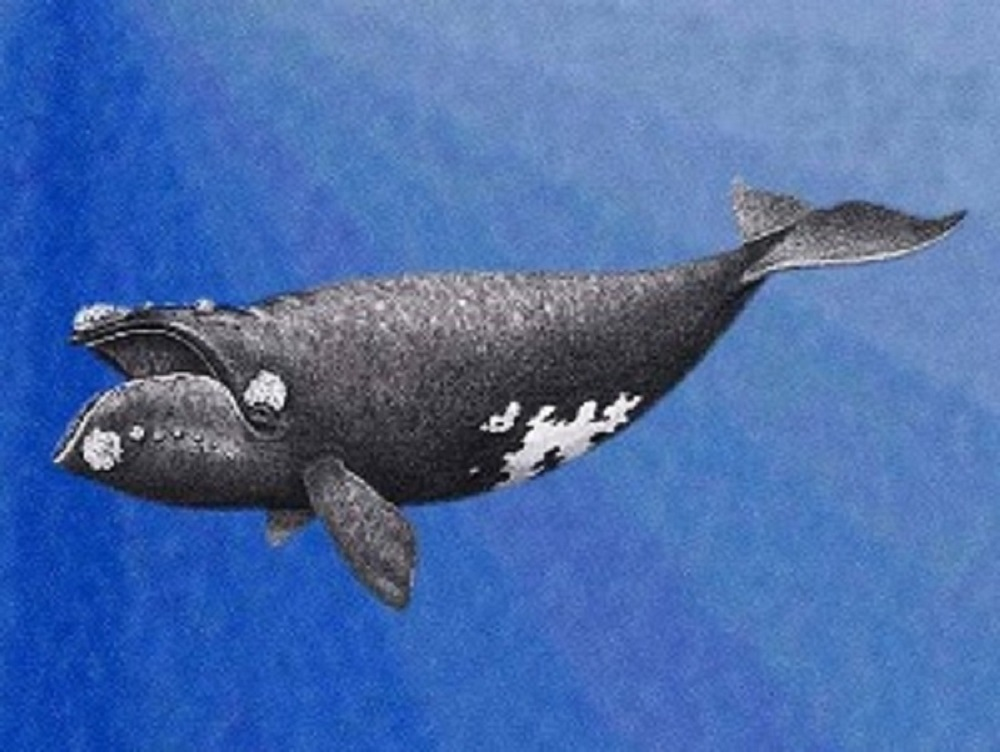Right Whale, Pacific Northwest