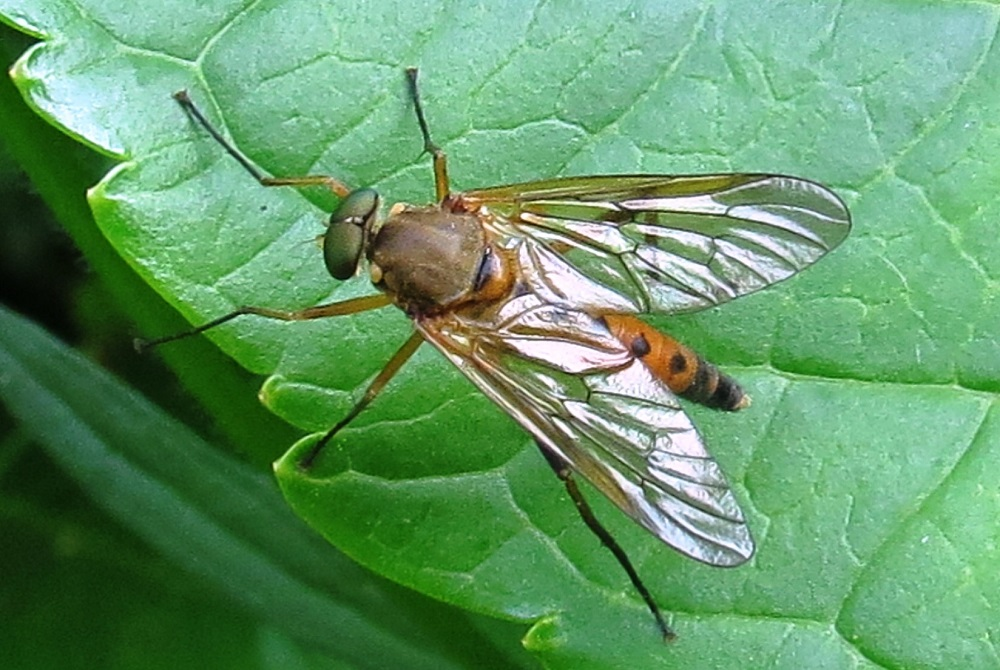 About 150,000 species of living diptera have been described in approximately 10,000 genera and 150 families.