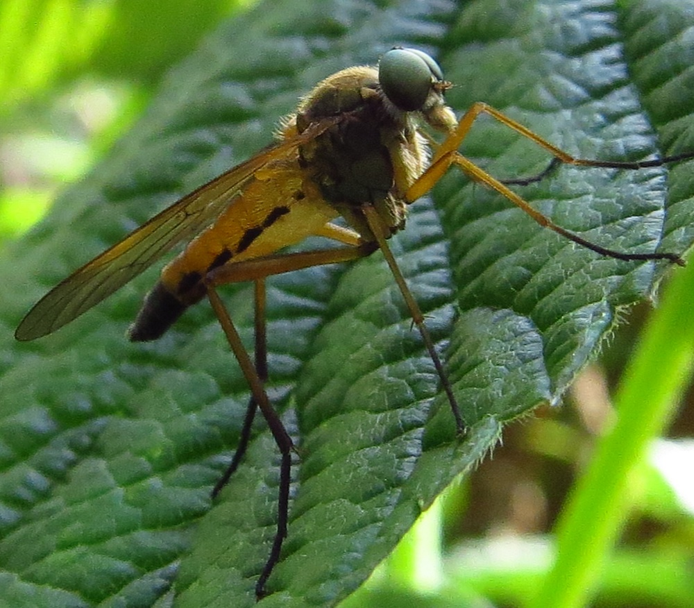 Adult robber flies are predators of other flying insects. They attack a variety of insects, even those that are larger than themselves.