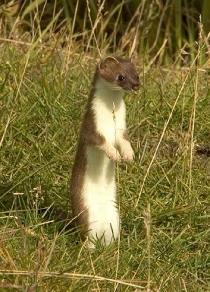 Short Tailed Weasel, Vancouver Island, BC