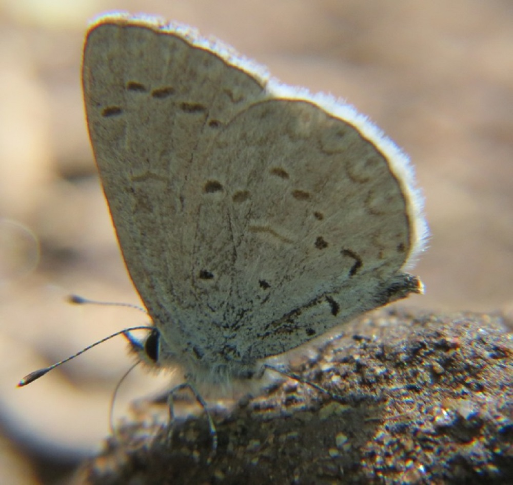 Silvery blue Butterflies are small, iridescent blue butterflies found in North America and Canada including all of the BC coastal region.
