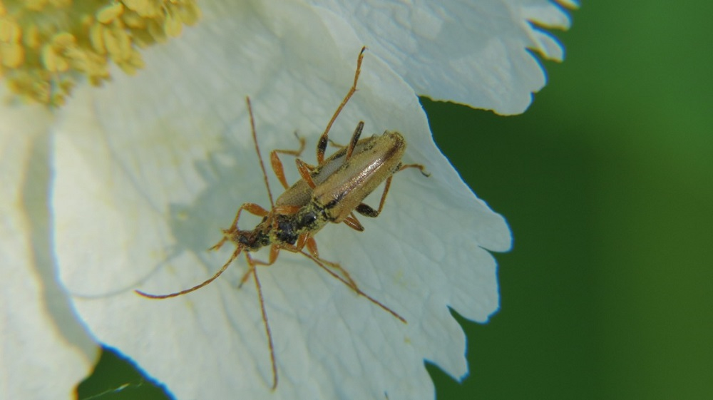 The Soldier Beetles feed on nectar and pollen or on other insects, such as aphids. Most larvae are predaceous on soft bodied insects like caterpillars and also on insect eggs.