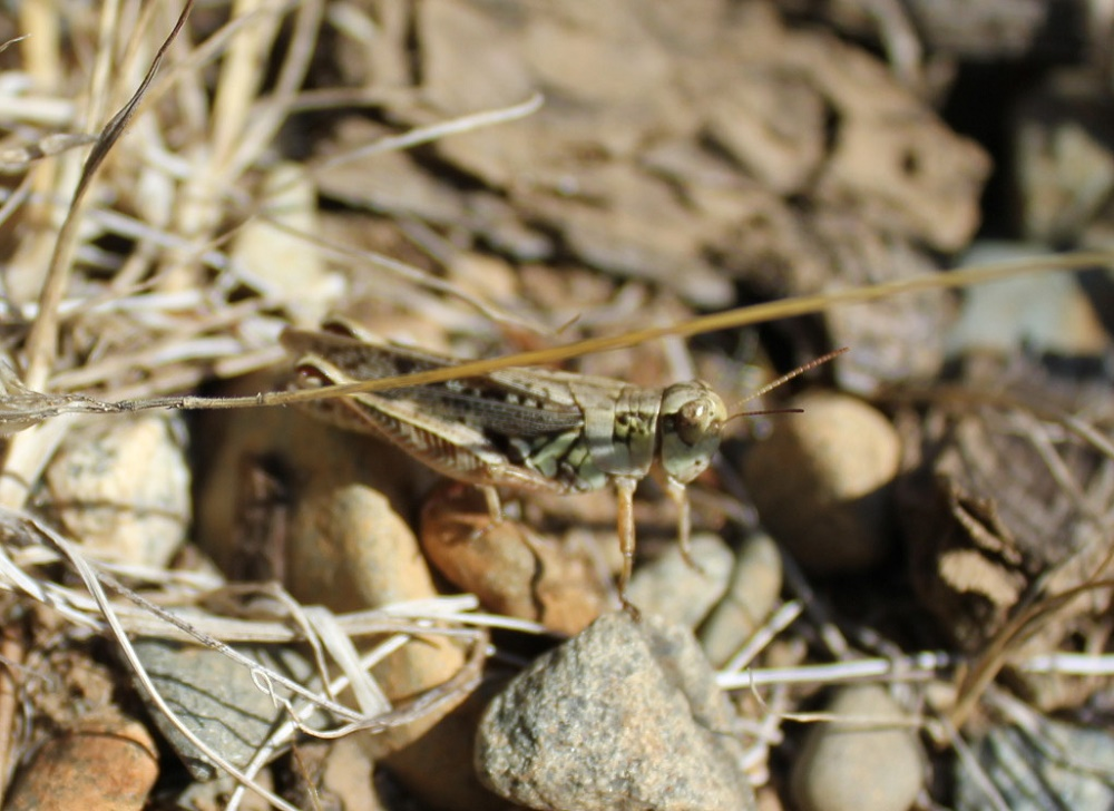 Spur Throated Grasshopper