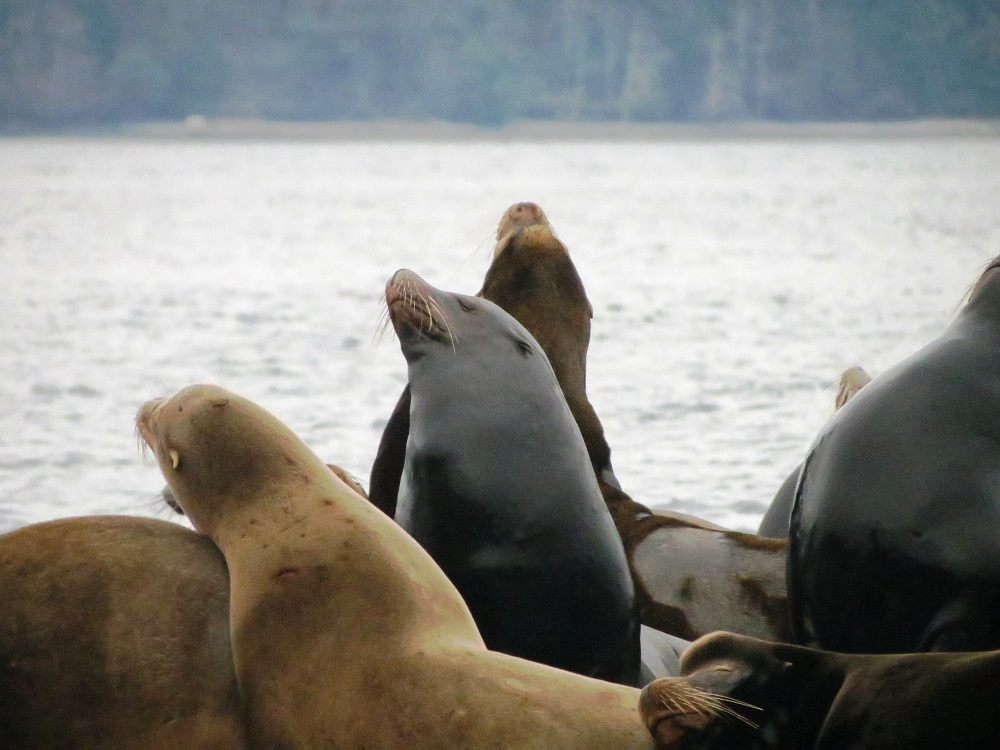 Steller Sea Lions, Pacific Northwest