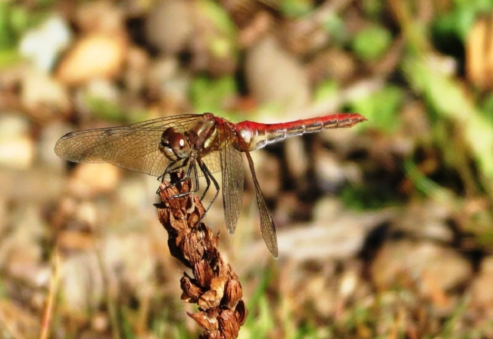 The Striped Meadowhawk Dragonfly is a small dragonfly with a length of up to 4 cm. Mature males are mostly red while immature males and females are greenish yellow to olive green.
