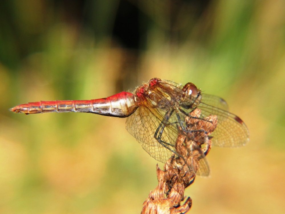 Striped Meadowhawk Dragonflies are found from B.C. south to California and is quite common on the British Columbia coastal region. This dragonfly can be seen around small, often stagnant, semi permanent ponds and ditches.They fly from early July to early October. They like small ponds.