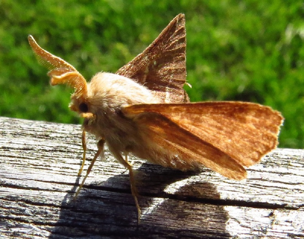 The tent caterpillar moth has a wing span of 4 to 6 cm and is dark brown with 2 whitish lines nearly parallel to the outer edge of the wings.