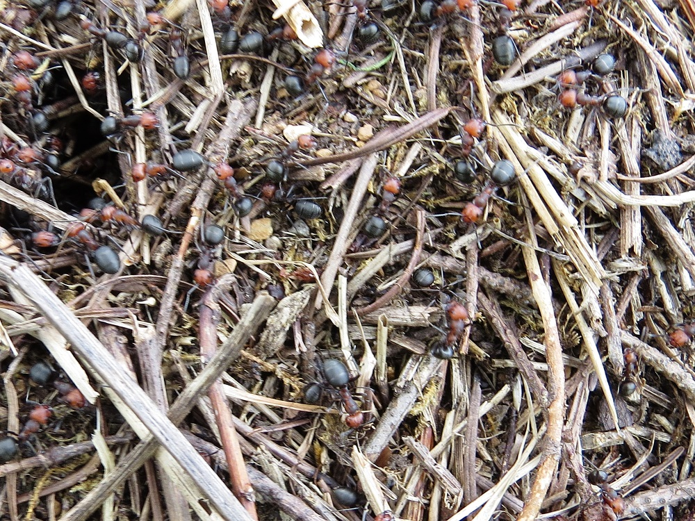 There are many types of ants here on the coast of BC and their nests are quite fascinating to observe. Ant nests come in literally all shapes and sizes. A few species live in colonies of only a few dozen ants; however, the average ant colony contains thousands of individual ants.