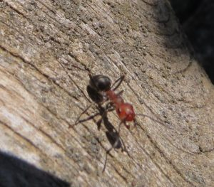 Thatching Ants, Ants, Insects, Animals, BC Coastal Region, Insects Of BC