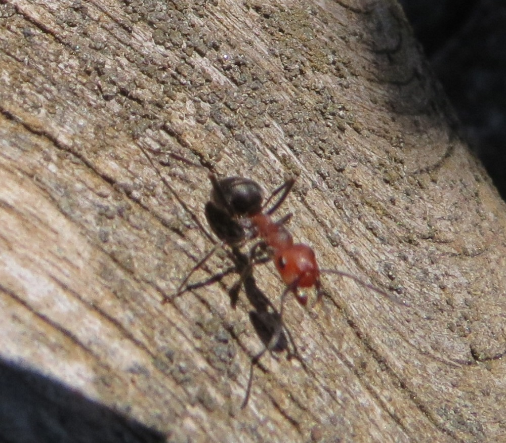 Thatching Ants are a species of Formica ant that often build huge nests. Their nests are usually large mounds out of sticks, leaves, grass, and pine needles. They also can nest in decaying logs.