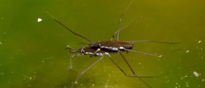 Broad Shouldered Bug, Vancouver Island, BC