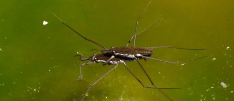 Broad Shouldered Bugs