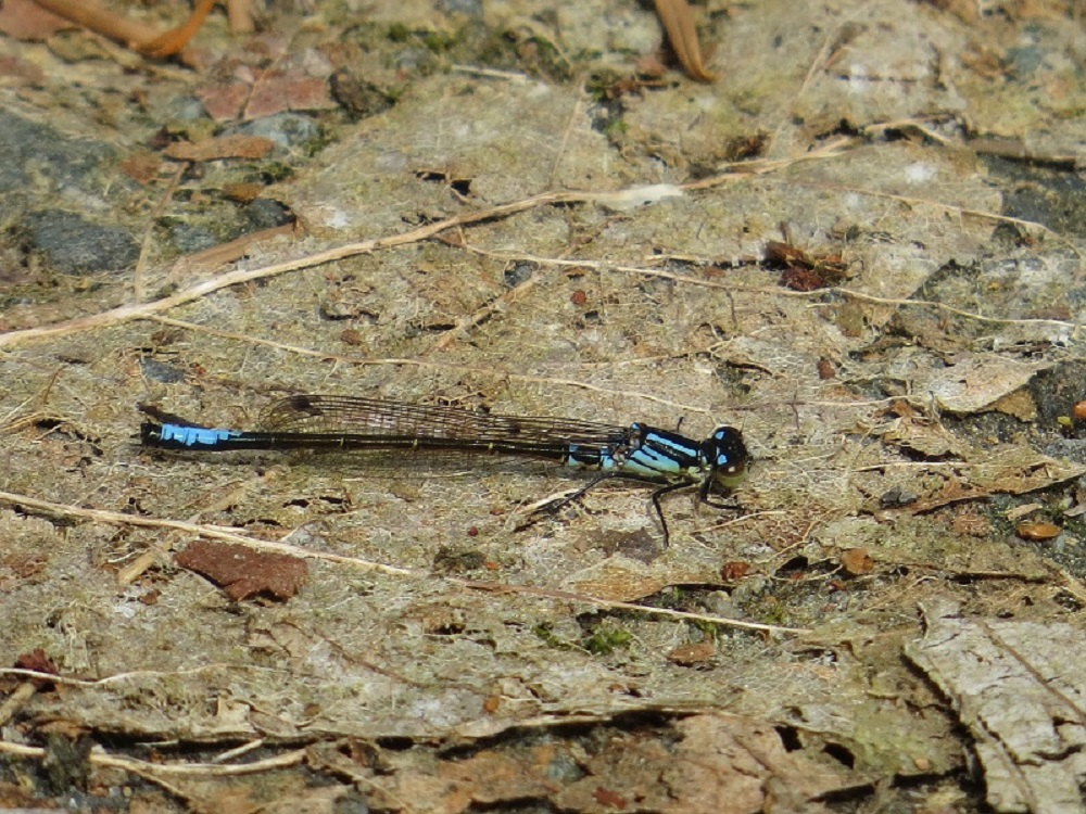 South Vancouver Island has some pacific forktails and they have been seen on Quadra Island opposite Campbell River. They are not as common as the western fork tails.