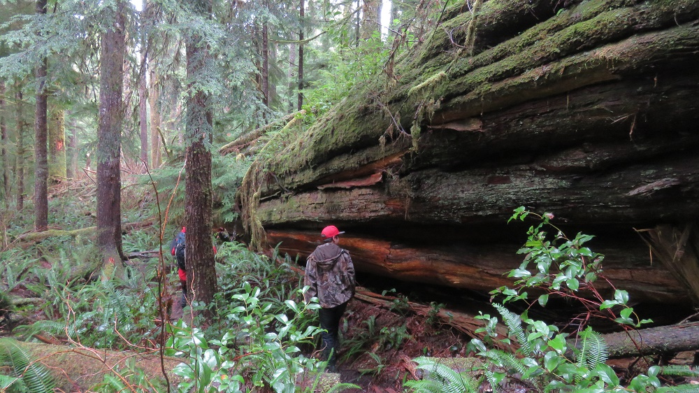 A Giant Cedar That Reached The End Of His Days, Vancouver Island, BC, Photo By Bud Logan, Vancouver Island