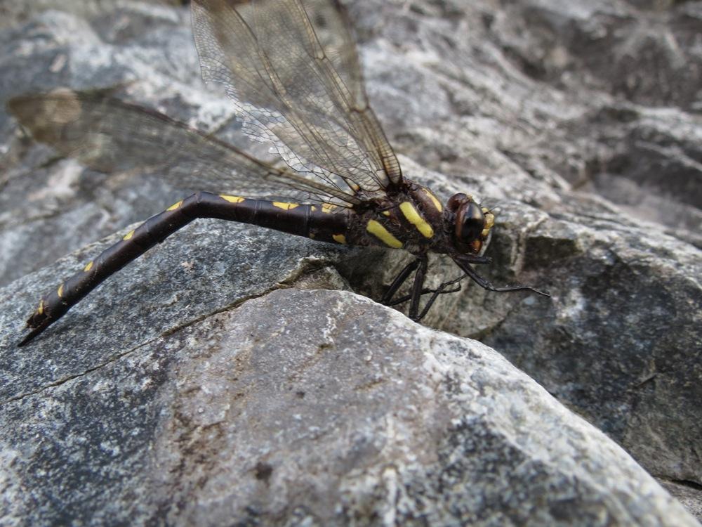 Western River Cruiser Dragonfly