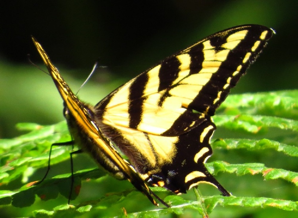 The western tiger swallowtail is a butterfly that roams the Pacific Northwest including all of the BC coast. The western tiger swallowtail is a member of the family papilionidae, which consists of other subspecies of swallowtail butterflies.