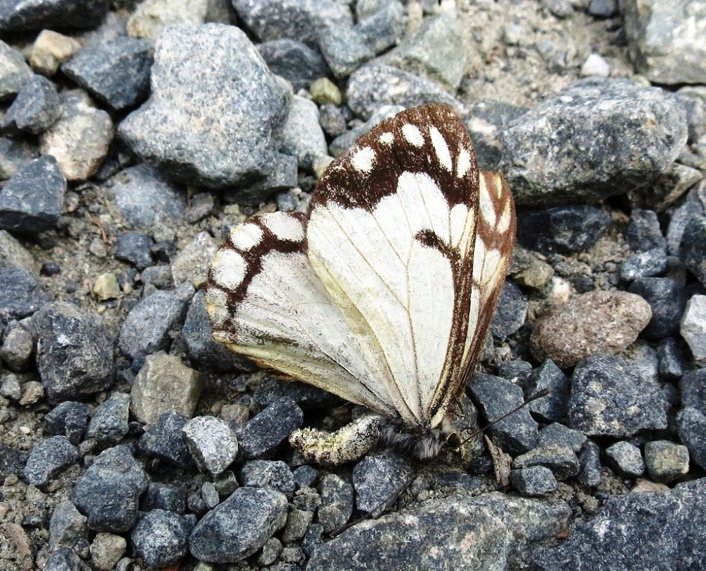The Western White Butterfly hibernates through the winter. They have one flight in June in the far north and two flights in May and August on southern coast.