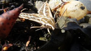 White Lined Spinx Moth