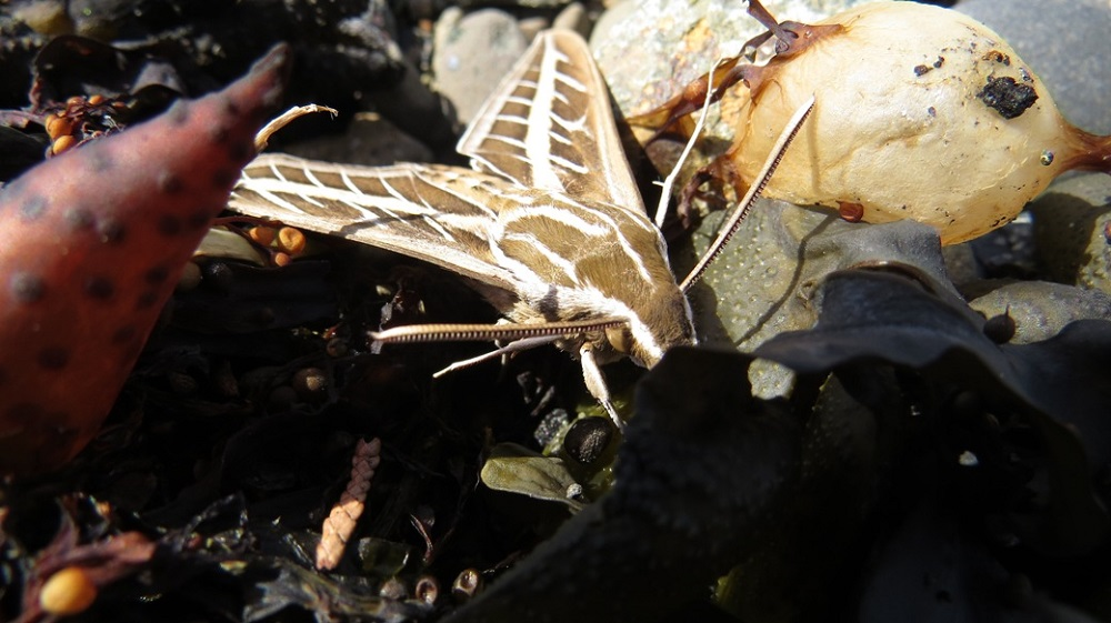 White Lined Spinx Moth, Vancouver Island, BC