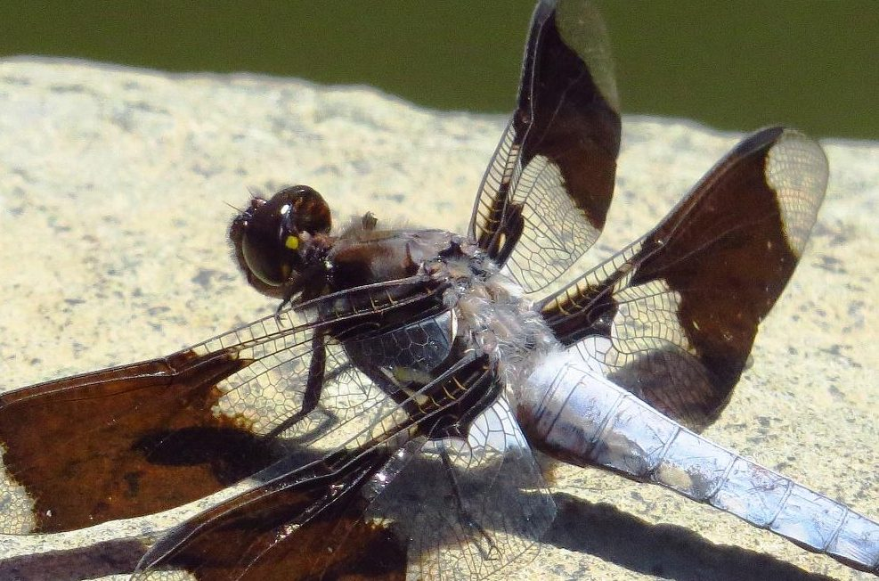 The common whitetail dragonfly has a long flight season, they fly from early spring to late autumn. This dragonfly feeds on small insects which it captures in flight.