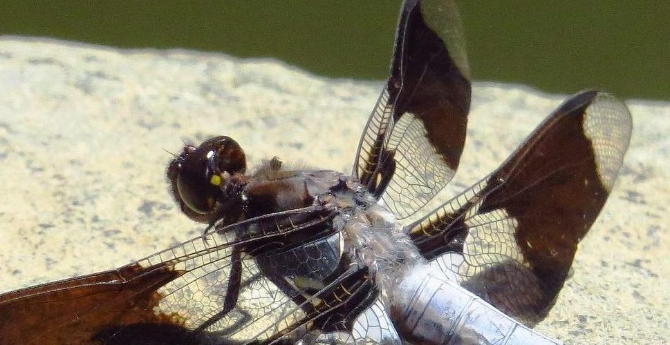 Common Whitetail Dragonfly, Vancouver Island, BC