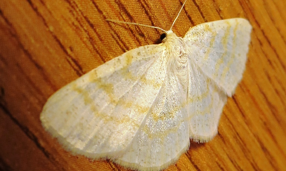 White Wave Moth