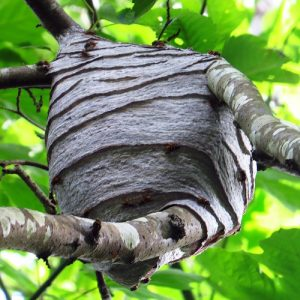 Western Yellow Jacket Wasps Nest