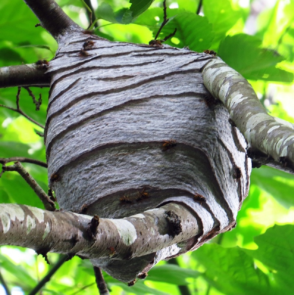 Western Yellow Jacket Wasps Nest