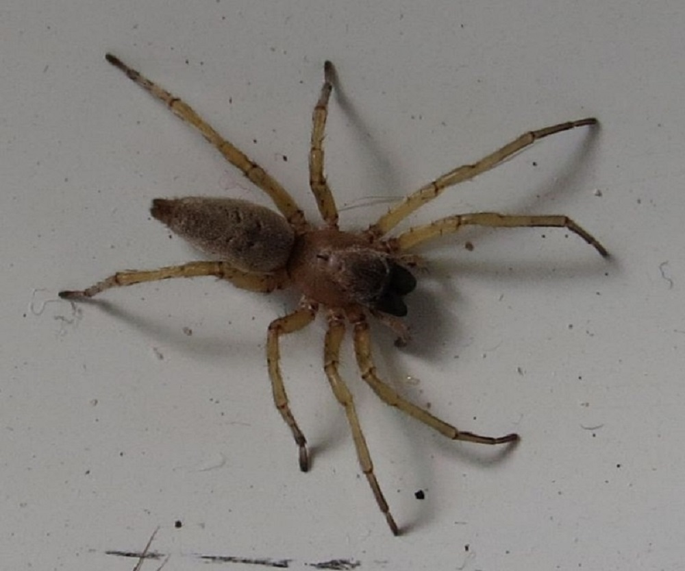 Yellow Sac Spider, Pacific Northwest