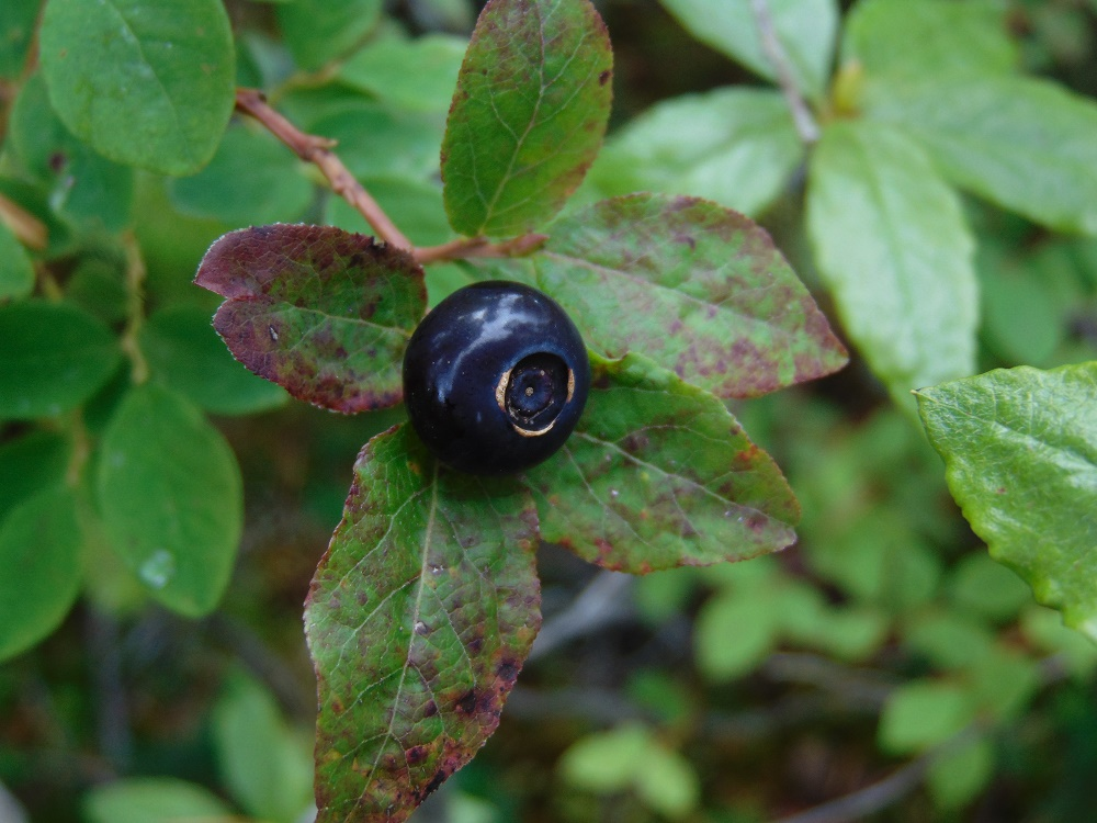 Black Huckleberries, Vancouver Island, BC